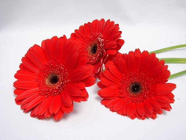 Gerbera Red with Black Eye / Barberton Daisy