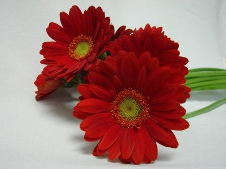 Gerbera Red with Green Eye / Barberton Daisy