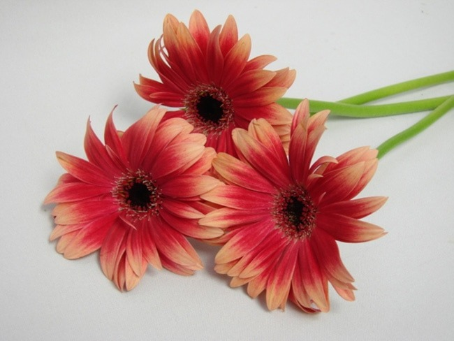 Gerbera Two Tone Pink with Black Eye / Barberton Daisy
