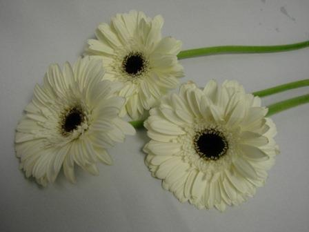 Gerbera White with Black Eye / Barberton Daisy