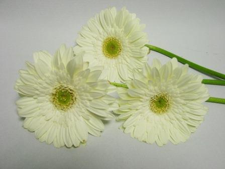 Gerbera White with Green Eye / Barberton Daisy