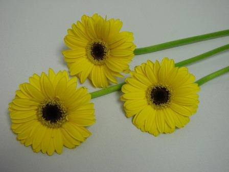 Gerbera Yellow with Black Eye / Barberton Daisy