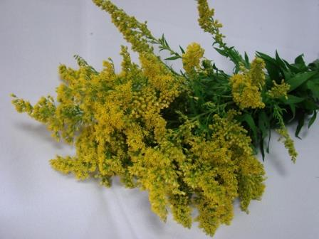 Golden Rod / Solidago