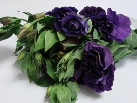 Lisianthus Dark Purple / Eustoma / Jodels
