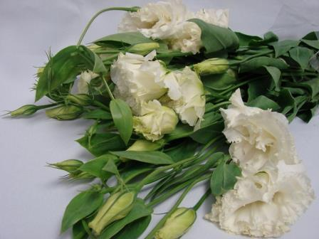 Lisianthus White / Eustoma / Jodels