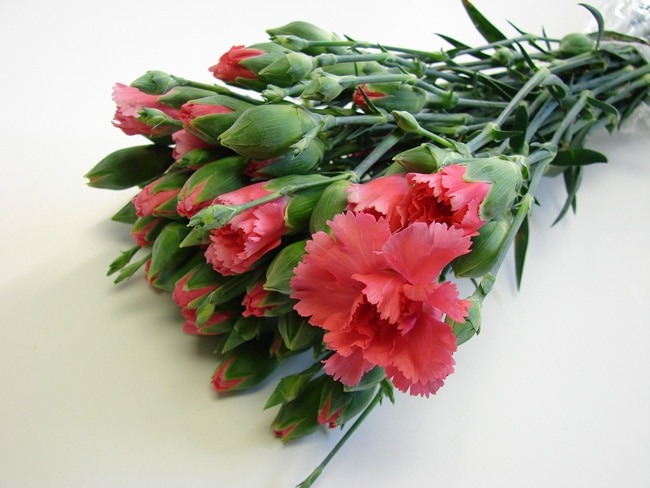 Mini Carnations Cerise Pink