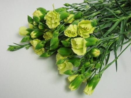 Mini Carnations Green