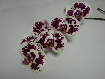 Orchid White with Purple / Phaleonopsis