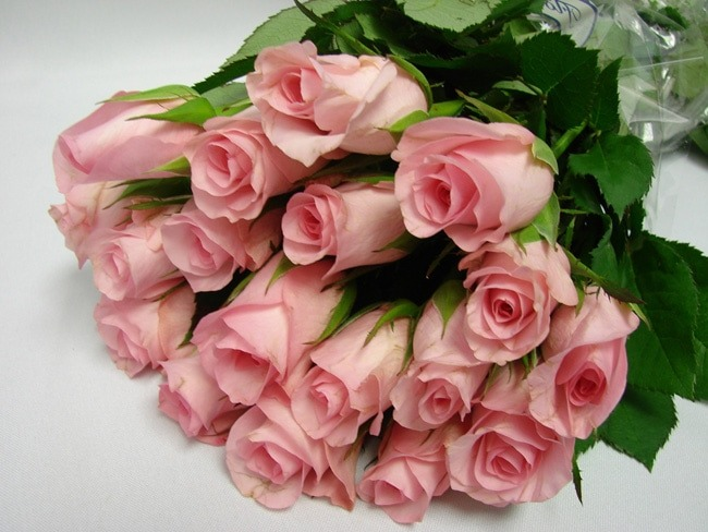 Roses Light Pink / Blush Akito