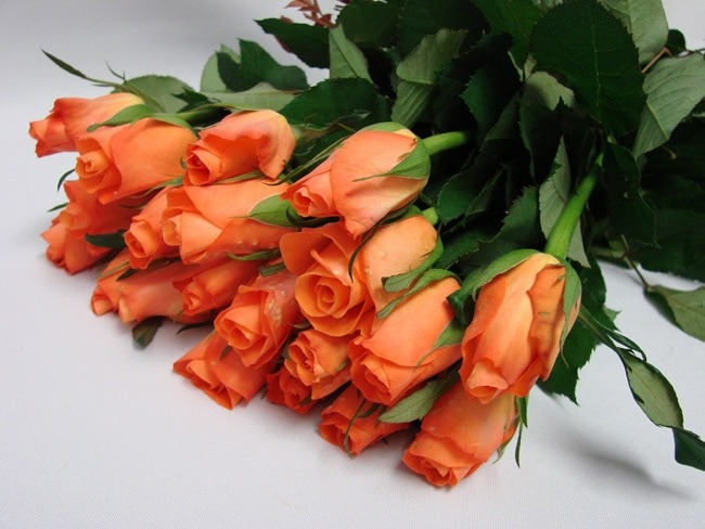 Roses Orange Bright / Tropical Amazon