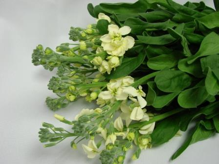 Stocks Cream / Matthiola