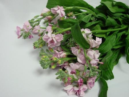 Stocks Light Pink / Matthiola