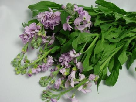 Stocks Lilac / Matthiola