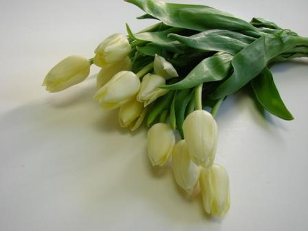 Tulips Cream / Tulipa