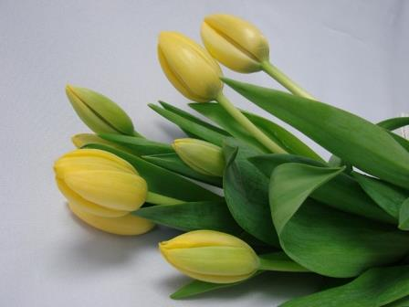 Tulips Yellow / Tulipa
